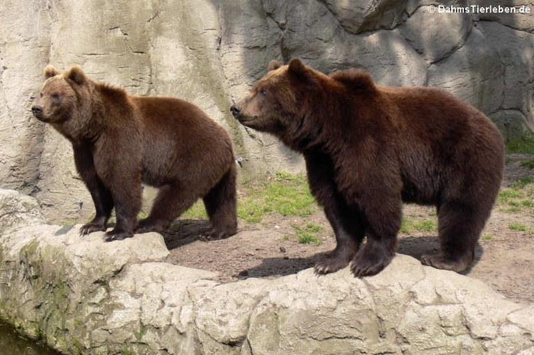 Ursus arctos beringianus