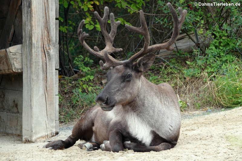 Rangifer tarandus caribou