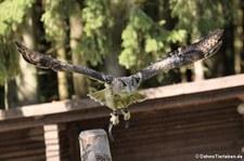 Europäischer Uhu (Bubo bubo bubo) in der Greifvogelstation Hellenthal