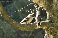 Jägerlieste (Dacelo novaeguineae) in der Greifvogelstation & Wildfreigehege Hellenthal