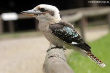 Jägerliest (Dacelo novaeguineae) in der Greifvogelstation & Wildfreigehege Hellenthal