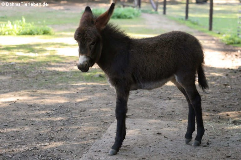 Equus africanus f. asinus