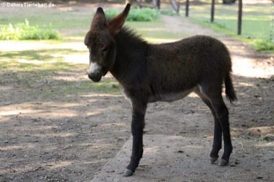 Hausesel (Equus africanus f. asinus) mit einem 4 Tage alten Jungtier