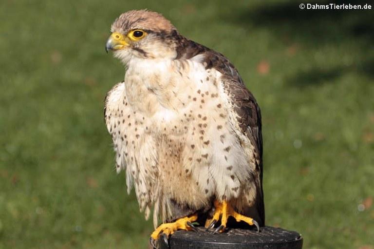 Falco biarmicus