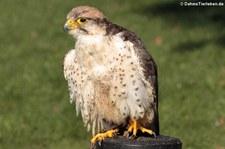 Lannerfalke (Falco biarmicus), Greifvogelstation Hellenthal