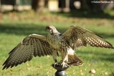 Sakerfalke (Falco cherrug) in der Greifvogelstation Hellenthal