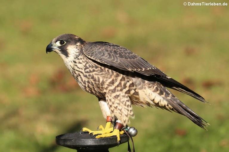 Falco cherrug
