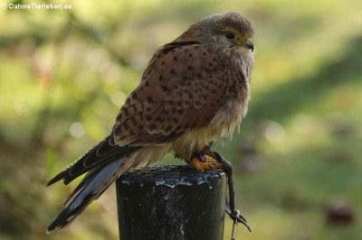 Europäischer Turmfalke (Falco tinnunculus tinnunculus)