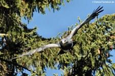 Kordillerenadler (Geranoaetus melanoleucus) in der Greifvogelstation Hellenthal