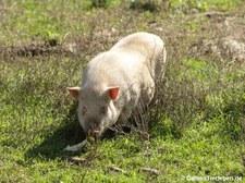 Hängebauchschwein im Wildfreigehege Hellenthal