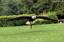 Weißkopfseeadler (Haliaeetus leucocephalus), Greifvogelstation & Wildfreigehege Hellenthal