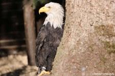 Weißkopfseeadler im Jugendgefieder (Haliaeetus leucocephalus) Greifvogelstation & Wildfreigehege Hellenthal