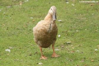 Laufente (Anas platyrhynchos f. domestica)