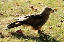 Schwarzmilan (Milvus migrans), Greifvogelstation & Wildfreigehege Hellenthal