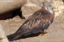 Rotmilan (Milvus milvus) in der Greifvogelstation & Wildfreigehege Hellenthal