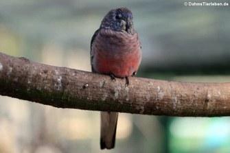 Bourkesittich (Neopsephotus bourkii)
