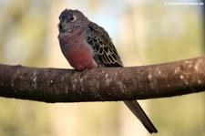 Bourkesittich (Neopsephotus bourkii), Greifvogelstation & Wildfreigehege Hellenthal