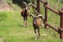Ovis orientalis musimon