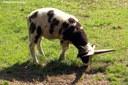 Ovis orientalis