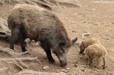 Wildschweine (Sus scrofa scrofa) im Wildfreigehege Hellenthal