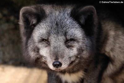 Polarfuchs oder Eisfuchs (Vulpes lagopus)