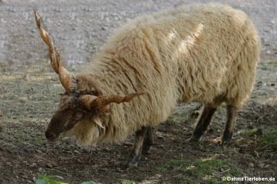Zackelschaf (Ovis orientalis f. aries)