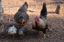 Japanische Zwerghühner, Greifvogelstation & Wildfreigehege Hellenthal