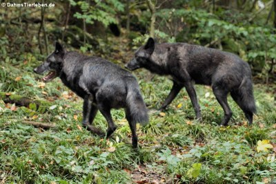 Timberwölfe (Canis lycaon)