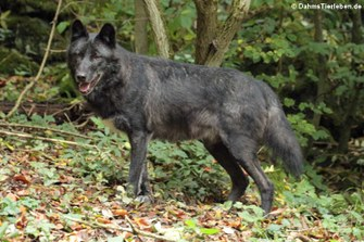 Timberwolf (Canis lycaon)