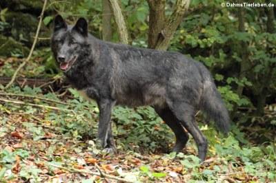 Timberwolf (Canis lycaon)