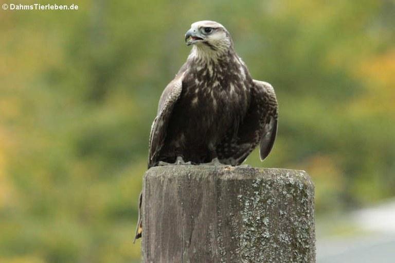 Falco jugger