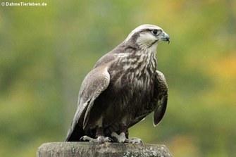 Laggarfalke (Falco jugger)