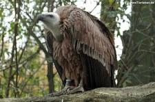 Gänsegeier (Gyps fulvus) im Adler- und Wolfspark Kasselburg