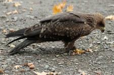 Schwarzmilan (Milvus migrans) im Adler- und Wolfspark Kasselburg