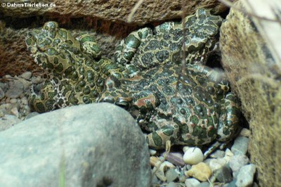 Wechselkröten (Bufotes viridis)