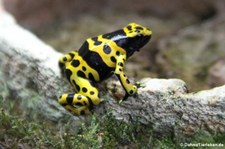 Gelbgebänderter Baumsteiger (Dendrobates leucomelas) im Kölner Zoo