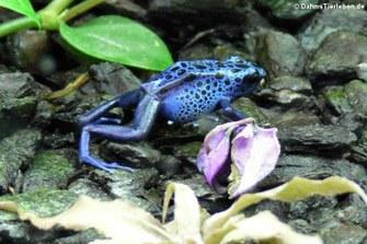Färberfrosch (Dendrobates tinctorius)