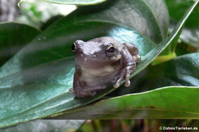 Amerikanischer Laubfrosch (Dryophytes cinereus)