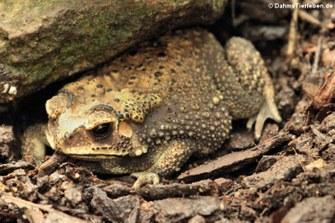 Schwarznarbenkröte (Duttaphrynus melanostictus)