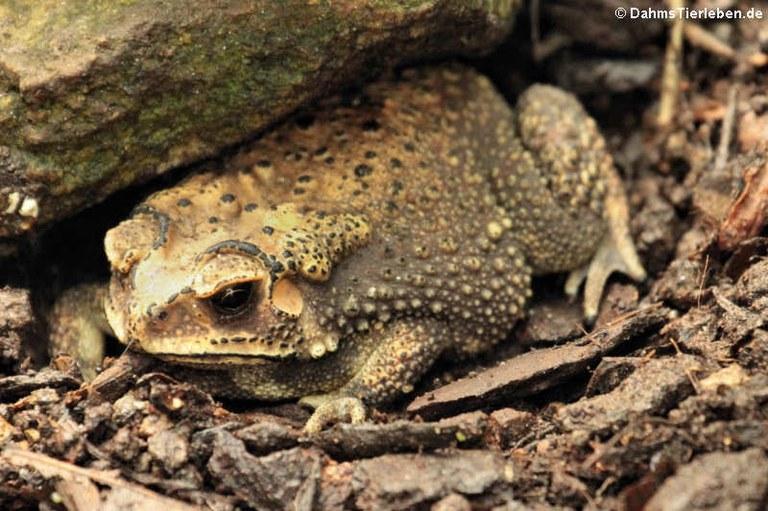 Duttaphrynus melanostictus