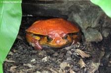 Südlicher Tomatenfrosch (Dyscophus guineti) im Kölner Zoo