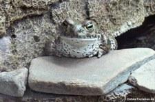 Kreuzkröte (Epidalea calamita) in Kölner Zoo