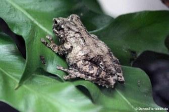 Taylors Baumfrosch (Kurixalus bisacculus)