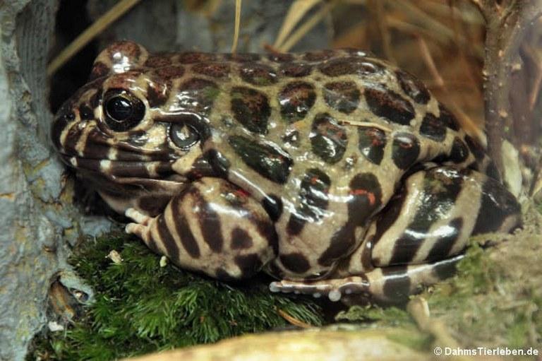 Leptodactylus laticeps