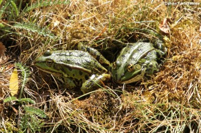 Teichfrösche (Pelophylax kl. esculentus)