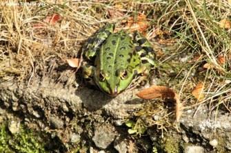 Teichfrosch (Pelophylax kl. esculentus)