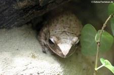 Großkopf-Ruderfrosch (Polypedates megacephalus) im Kölner Zoo