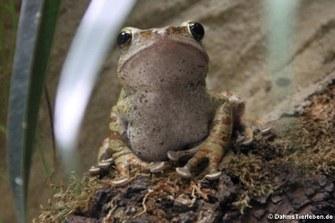 Großkopf-Ruderfrosch (Polypedates megacephalus)
