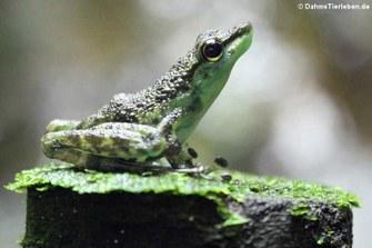 Schwarzgepunkteter Winkerfrosch (Staurois guttatus)