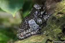 Baumhöhlen-Krötenlaubfrosch (Trachycephalus resinifictrix) im Kölner Zoo